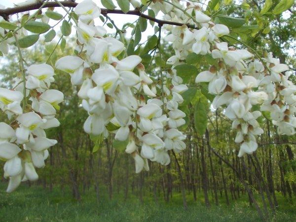de vanzare 7.5 ha padure Foioase pret  EUR. Judetul  Braila localitatea Jirlau  Specii de arbori: Salcam, Plop alb, Frasin.